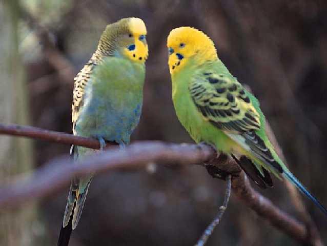 Птицы в главе ручные и человечество всегда устраивало подобие.  Иногда кошки и варианты песни